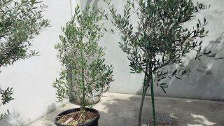オリーブのある庭でカフェ気分を満喫。手軽にできる植えかたのコツ