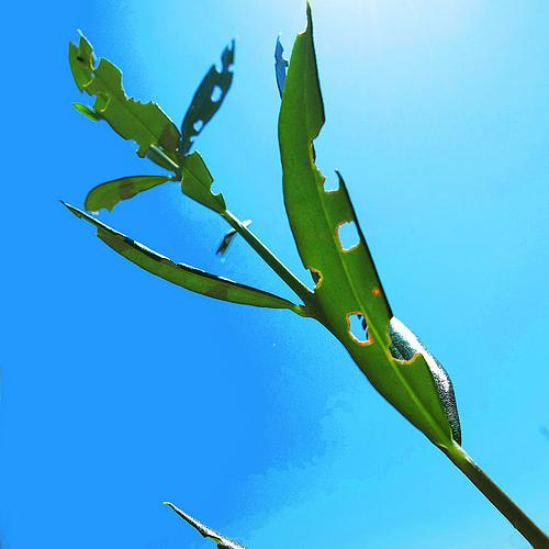 害虫に食われた葉