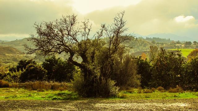 オリーブの大木
