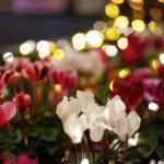 シクラメンの育て方は簡単。コツを覚えて長く花を楽しもう