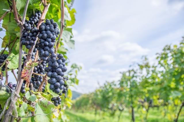 たわわな葡萄農園
