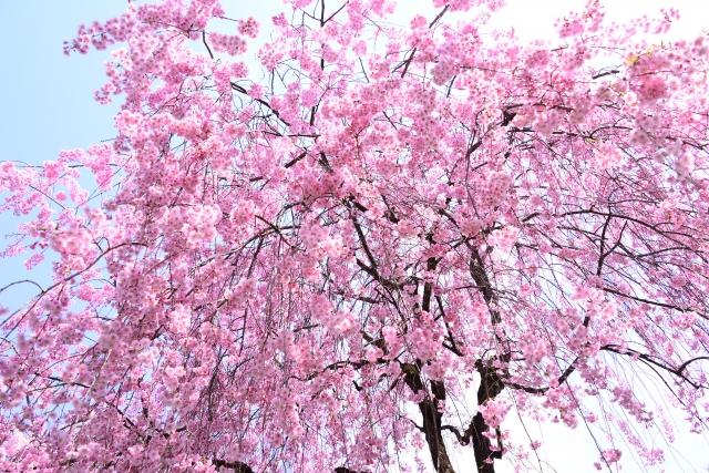 桜シダレザクラ