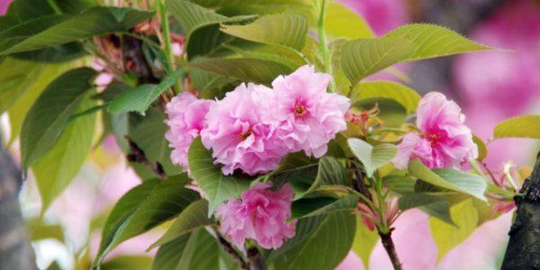 23b5690247a2739f4836c16d72a9255f_s八重桜