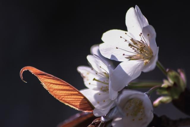 桜ヤマザクラ