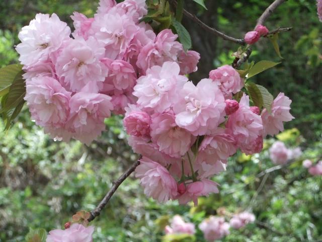 桜サトザクラ