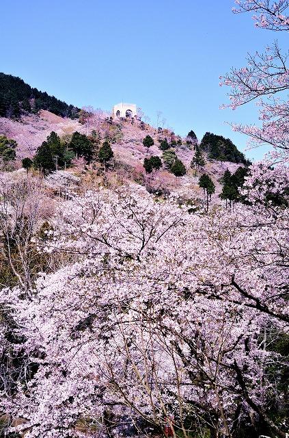 油山公園の桜