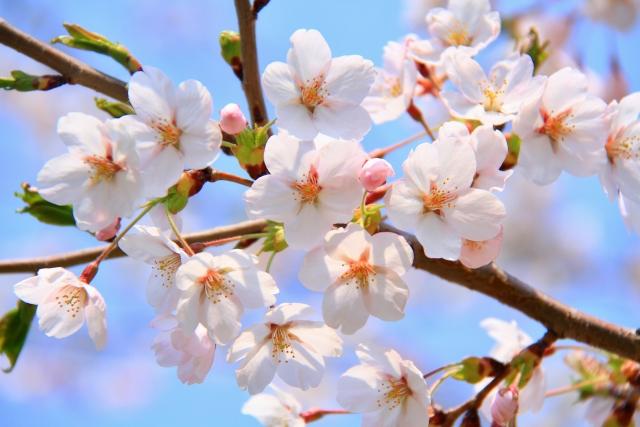 桜ソメイヨシノ