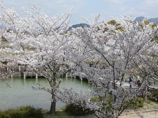 駕与丁公園桜