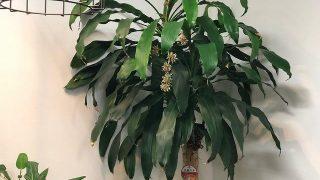 幸福の木って花が咲く?6年目に花をつけたドラセナマッサンゲアナ