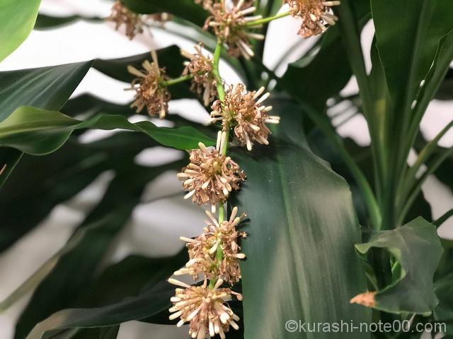 幸福の木の花