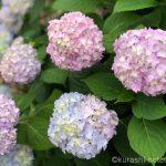 あじさいの花びらの色は土によって変わるって本当だった