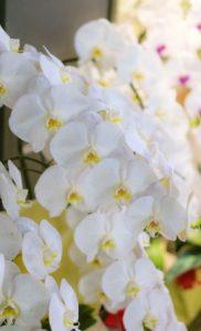 ギフトで特別な「胡蝶蘭」を贈る方法|5本立てがいい理由と選ぶべきお店